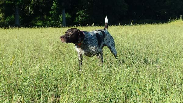 GSP training, NAVHDA training, German Shorthaired Pointer, German Shorthair Pointer, German Shorthair Pointer Training, AKC, NAVHDA